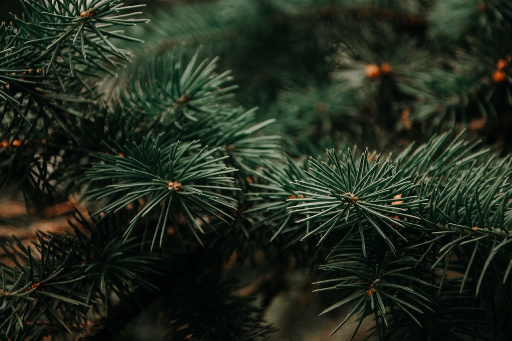 photography-of-green-pine-tree-943898.jpg